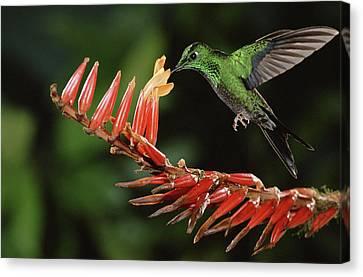 Bromeliad Canvas Print - Green-crowned Brilliant Heliodoxa by Michael & Patricia Fogden