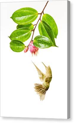 Green Crowned Brilliant Hummingbird Canvas Print by Hali Sowle