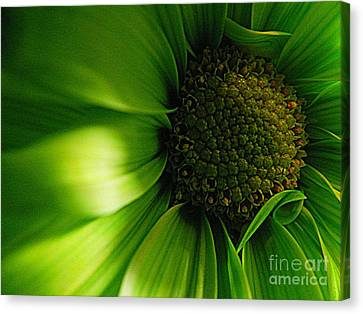 Canvas Print featuring the photograph Green Daisy by Robin Dickinson