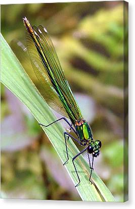 Green Damselfly Canvas Print by Ramona Johnston