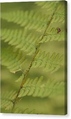 Green Ferns Blend Together Canvas Print by Heather Perry