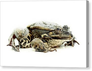 Green Frog On Piece Of Whiteboard Canvas Print by Marcel ter Bekke