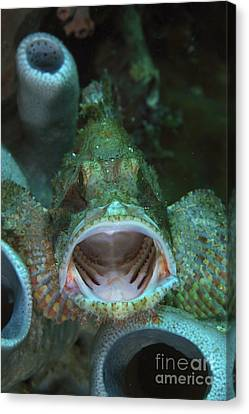 Green Grouper With Open Mouth, North Canvas Print by Mathieu Meur