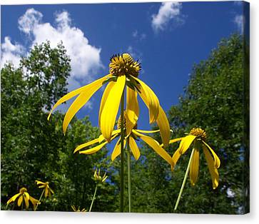 Green-headed Coneflower Canvas Print