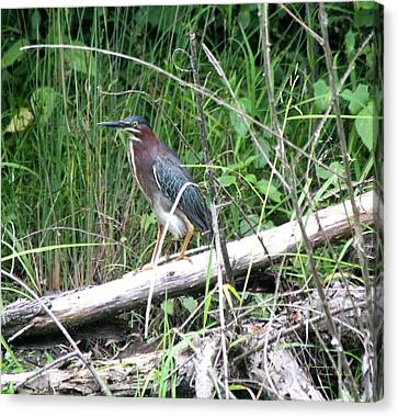 Green Heron 2790 Canvas Print by Suzanne  McClain