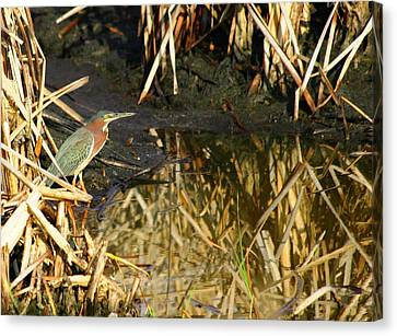 Canvas Print featuring the photograph Green Heron by Jeanne Andrews