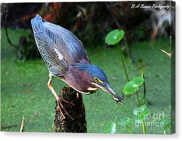 Green Heron Nabs A Fish Canvas Print by Barbara Bowen