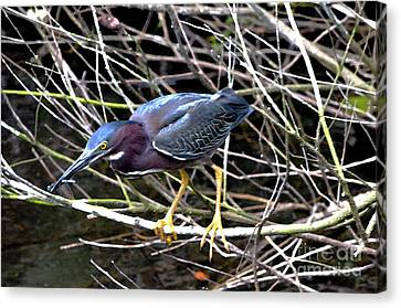 Canvas Print featuring the photograph Green Heron by Pravine Chester