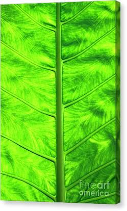 Green Leaf Canvas Print by Sami Sarkis