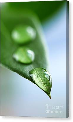 Green Leaf With Water Drops Canvas Print by Elena Elisseeva