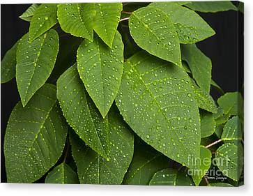 Green Leaves And Water Drops Canvas Print by James BO  Insogna