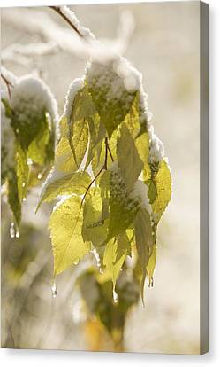 Green Leaves Covered With Snow And Ice Canvas Print by Susan Dykstra