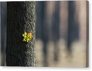 Green Leaves Sprout From Eucalyptus Canvas Print
