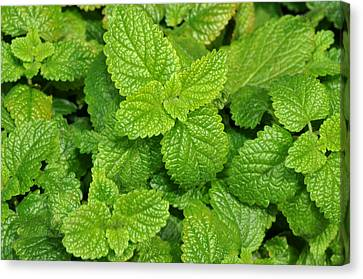 Canvas Print featuring the photograph Green Mint by Diane Lent