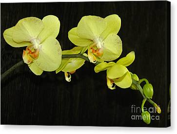 Green Orchids Canvas Print by Cindy Lee Longhini