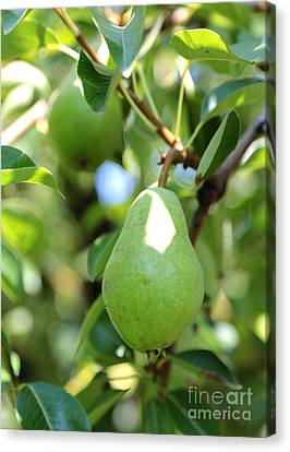 Green Pear Canvas Print by Carol Groenen