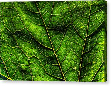 Green Pumpkin Leaf Canvas Print by Matt Dobson