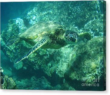 Green Sea Turtle Hawaii Canvas Print by Bob Christopher