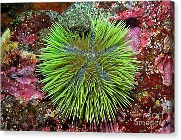 Green Sea Urchin On Rock Canvas Print by Sami Sarkis