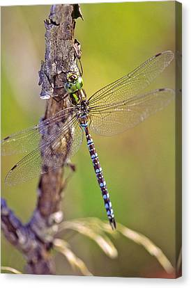 Green-striped Darner Dragonfly Canvas Print