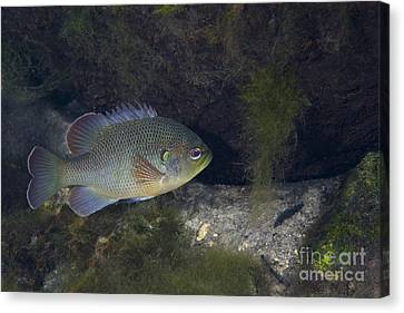 Green Sunfish Swimming Along The Rocky Canvas Print by Michael Wood