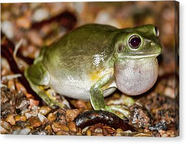 Green Tree Frog Canvas Print by Douglas Barnard