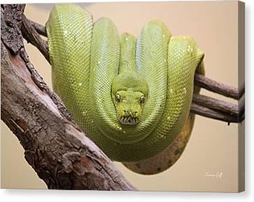 Burmese Python Canvas Print - Green Tree Python by Suzanne Gaff