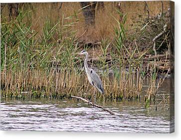 Grey Heron Canvas Print by Tony Murtagh