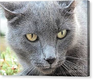 Grey Kitty 2 Canvas Print