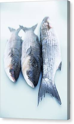 Grey Mullet Canvas Print by Veronique Leplat