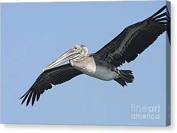 Grey Pelican Canvas Print by Deborah Benoit