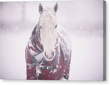 Grey Pony In Red Rug Canvas Print by Sasha Bell