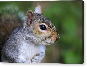 Grey Squirrel Canvas Print by Colin Varndell