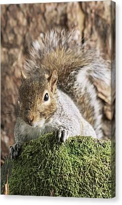 Grey Squirrel Canvas Print by David Aubrey