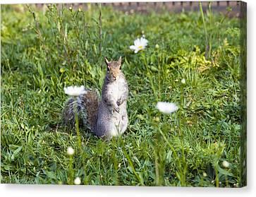 Grey Squirrel Canvas Print by Georgette Douwma