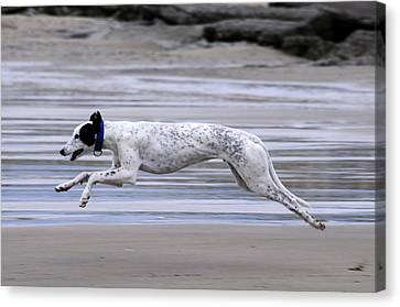 Greyhound - Flying Canvas Print by Thomas Maya