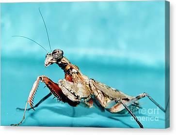 Grizzled Mantis Canvas Print by Lynda Dawson-Youngclaus