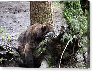 Canvas Print featuring the photograph Grizzley - 0012 by S and S Photo