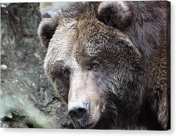 Canvas Print featuring the photograph Grizzley - 0015 by S and S Photo