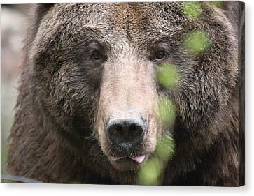 Canvas Print featuring the photograph Grizzley - 0020 by S and S Photo