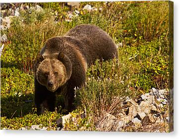 Grizzly 1 Canvas Print