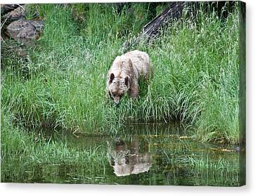 Grizzly Bear And Reflection On Prince Rupert Island Canada 2209 Canvas Print