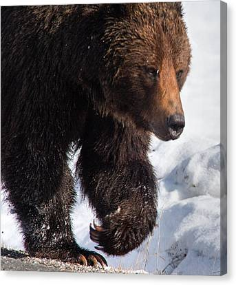 Canvas Print featuring the photograph Grizzly On Snow by J L Woody Wooden