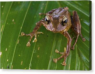 Ground Frog Nakanai Mts Papua New Guinea Canvas Print by Piotr Naskrecki