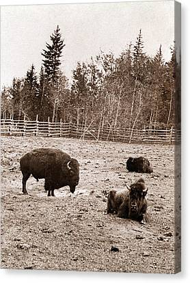 Group Of Buffalo, Dott Island Canvas Print by Everett