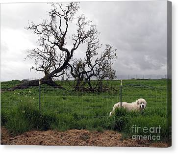 Canvas Print featuring the photograph Guarding The Sheep by Leslie Hunziker