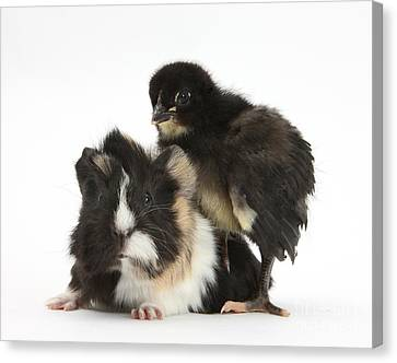 Cavy Canvas Print - Guinea Pig And Black Bantam Chick by Mark Taylor