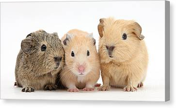 Guinea Pigs And Hamster Canvas Print by Mark Taylor