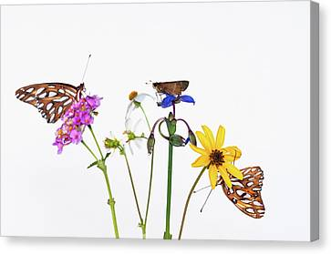 Gulf Fritillary And Brown Skipper Canvas Print