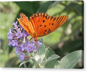 Canvas Print featuring the photograph Gulf Fritillary On Butterfy Bush by Paula Tohline Calhoun